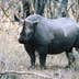 Black rhino, Mkhaya Game Reserve, Swaziland