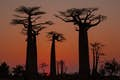 Madagascar is avenues of baobabs
