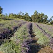 Aliʻi Kula Lavender