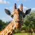 Portrait of a giraffe close-up, photographed in Florida; Shutterstock ID 624202532; Your name (First / Last): Trisha Ping; GL account no.: 65050; Netsuite department name: Online Editorial; Full Product or Project name including edition: Trisha Ping/65050/Online Editorial/Florida