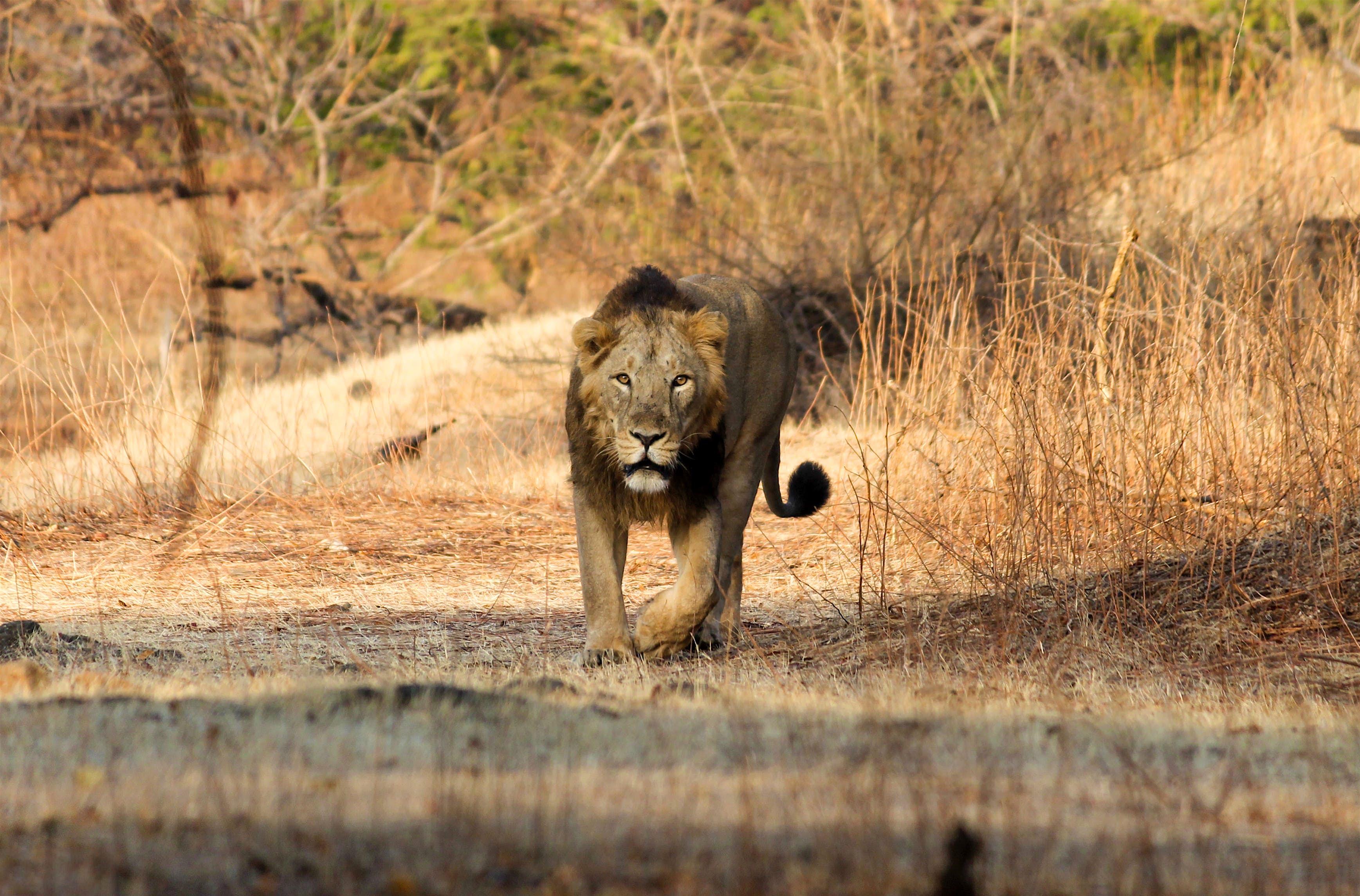 Gir National Park & Wildlife Sanctuary travel | Gujarat & Diu ...