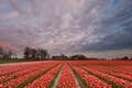 The Netherlands is fields of blooming colour
