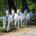 White Lipizzan Horses running; Shutterstock ID 342228359; Your name (First / Last): Anna Tyler; GL account no.: 65050; Netsuite department name: Online Editorial; Full Product or Project name including edition: destination-image-southern-europe