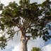 Biggest Yang Na Tree