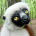 """Joviana, a lemur, gazes at the camera during a media tour at the Duke Lemur Center in Durham, North Carolina, Tuesday, May 7, 2013. The lemur was the inspiration for the Kratt Brothers' (Chris and Martin), talking Coquerel's Sifaka, 'Zoboo' on the PBS children's show """"Zoboomafoo"""". (Chuck Liddy/Raleigh News & Observer/MCT)"""