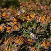 Reserva de la Biósfera Santuario Mariposa Monarca