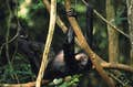 Republic of Congo is a primate's playground