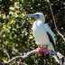 A Red-footed booby (Sula sula) sits on a branch in a breeding colony on Half Moon Caye off the coast of Belize. This is part of a UNESCO World Heritage Site.; Shutterstock ID 583848568; Your name (First / Last): Alicia Johnson; GL account no.: 65050; Netsuite department name: Online Editorial ; Full Product or Project name including edition: Belize