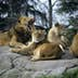 Lions at Seattle's Woodland Park Zoo; Shutterstock ID 112476; Your name (First / Last): Alexander Howard; GL account no.: 65050; Netsuite department name: Online Editorial; Full Product or Project name including edition: Western USA neighborhood POI highlights