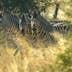 Mahango park, zebras