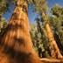 General Grant Grove trees