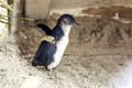 Phillip Island is spying the fairy penguins at dusk