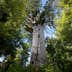 Wide angle of T?ne Mahuta, the giant kauri tree in the Waipoua Forest of Northland Region, New Zealand