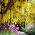 Beautiful Laburnum (Golden Chain) blossoms in the mid of May at VanDusen Botanical Garden in Vancouver, BC Canada.
