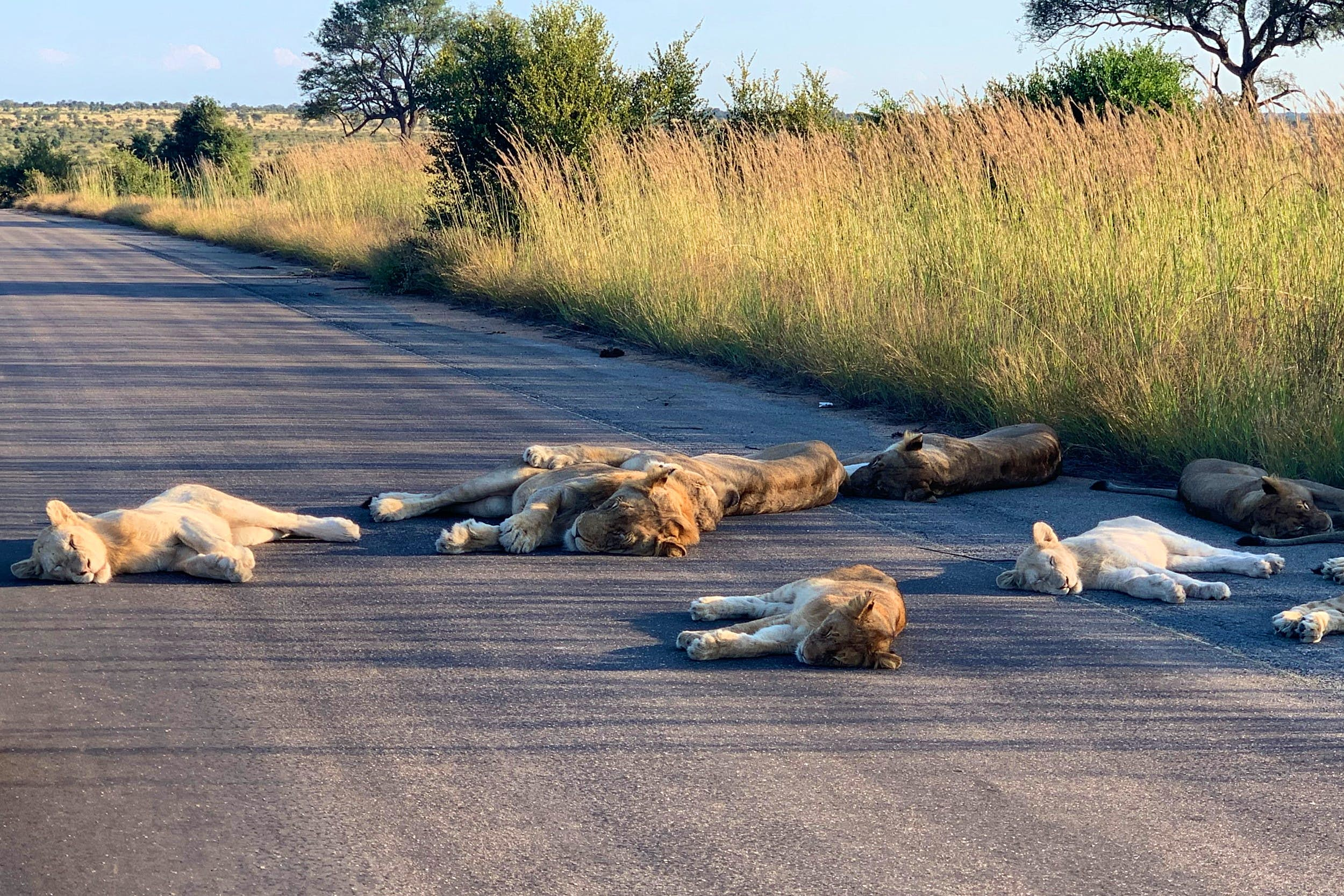 Kruger lions lying on the road