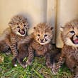 These adorable cheetahs have received their names © Adrienne Crosier via SCBI