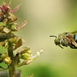 The blue banded bee is one of the most striking species of bees native to Australia © Karthik Photography / Getty Images