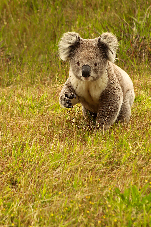 Koala on The Grass in Great Otway NP in Australia