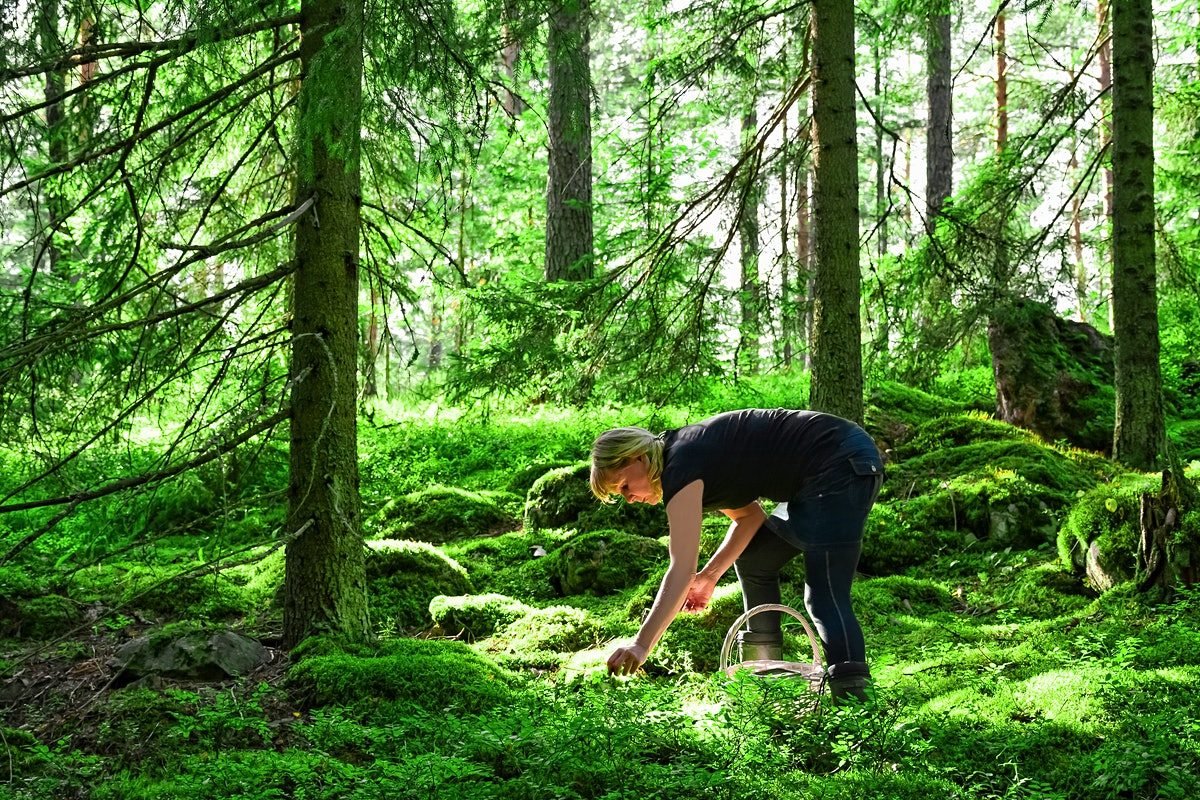 Woman picking wild blueberries and mushrooms in forest