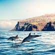 Group of dolphins jumping from the sea near Madeira Island.