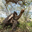 The tortoises have returned home © Andrés Cruz/GTRI – Galapagos Conservancy