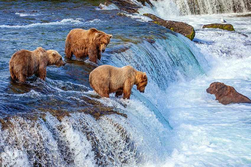 A group of grizzly bears fishing for salmon at Brooks Falls.