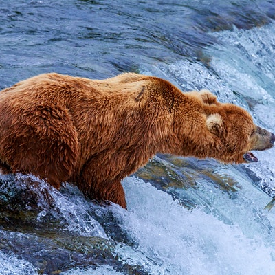 Watch giant brown bears catching salmon on the Katmai bear cam