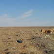 The first khulan to cross into the eastern steppe in Mongolia in 65 years © WCS Mongolia