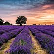 Mayfield Lavender is an organic lavender farm on the Surrey Downs © Mayfield Lavender