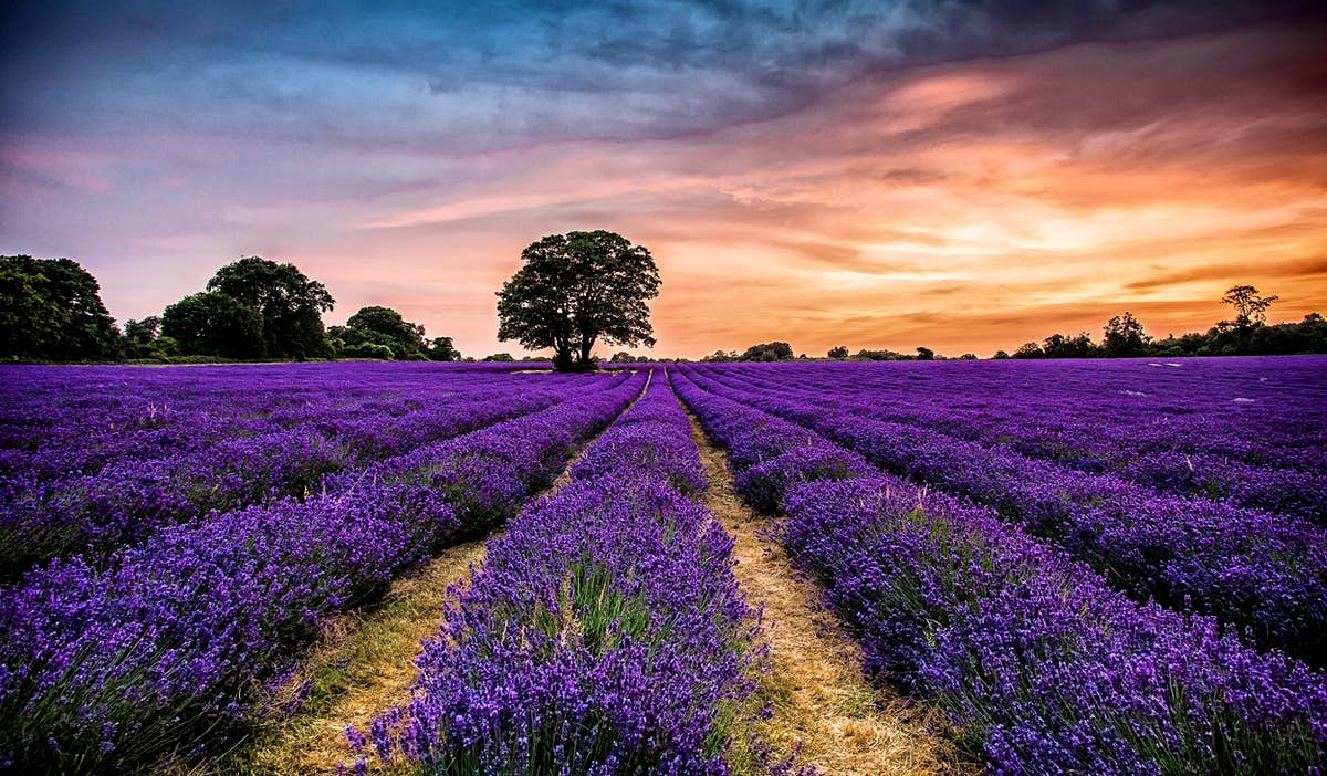 Take a trip to one of these stunning English lavender fields now open to visitors