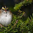 Male white-throated sparrows in Canada are singing a new song © Cal Vornberger via Getty Images