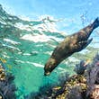 Californian sea lion (Zalophus californianus) swimming and playing in the reefs of Los Islotes in Espiritu Santo island.