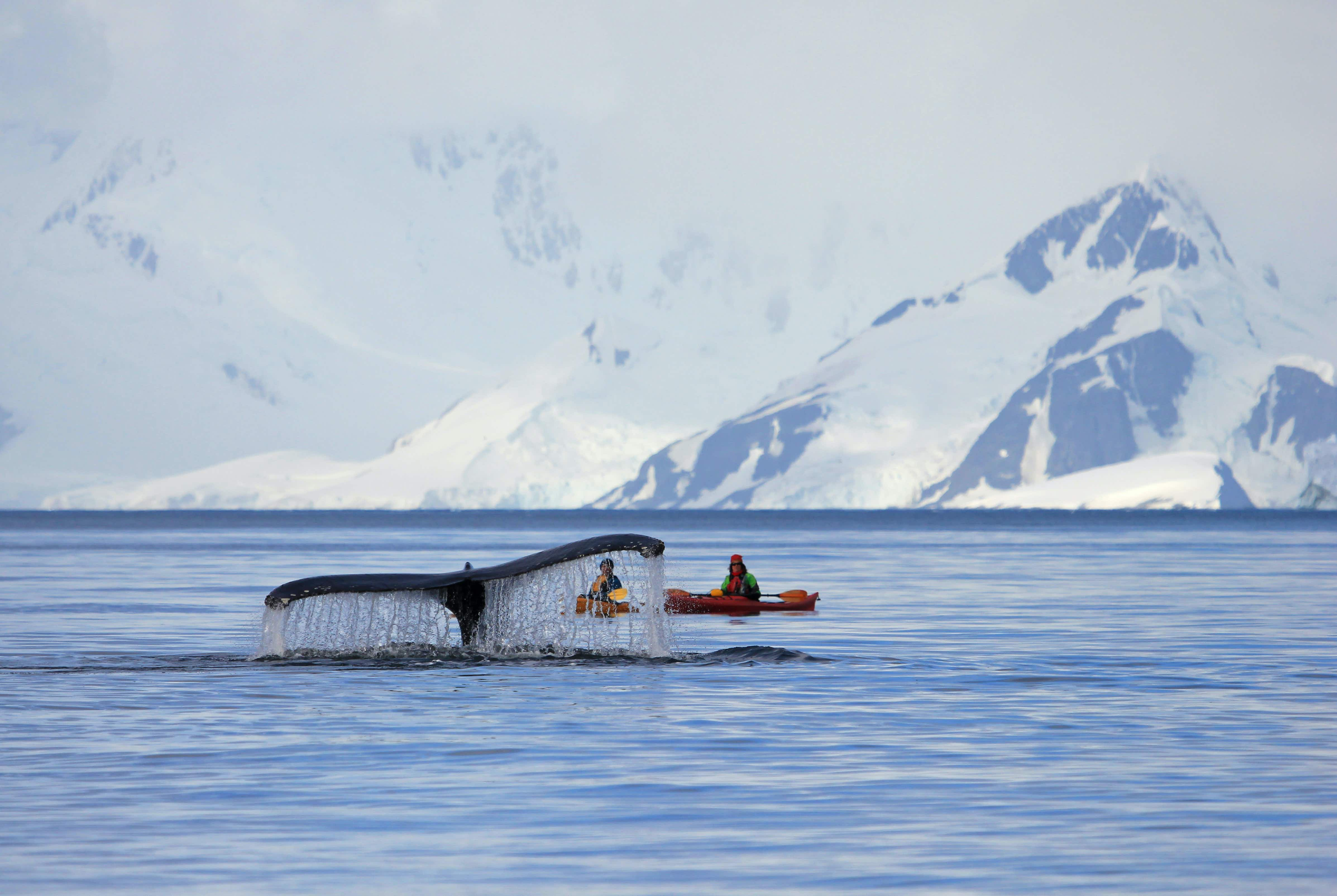 Two kayakers observe a Humpback whale tail rising from the waters surface in the Antarctic Peninsula.