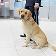 Image of a Labrador dog for detecting drugs at the airport standing near the customs guard.