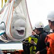 To be released at 06:00 Monday 10th August 2020...The Sea Life Trust team transfer Little Gray one of two beluga whales (Little Grey and Little White) from a tugboat to the the landside care pool, to their bayside care pool, for a short period of time to