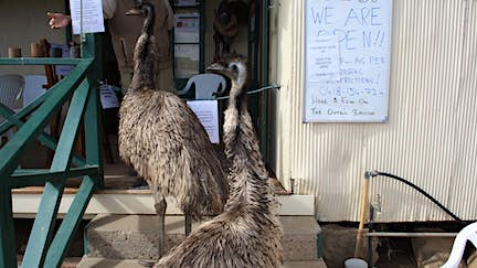 Two greedy emus have been banned from this Australian hotel for antisocial behavior