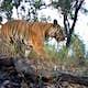 An endangered tiger, caught on camera in western Thailand © DNP/Panthera/ZSL/RCU