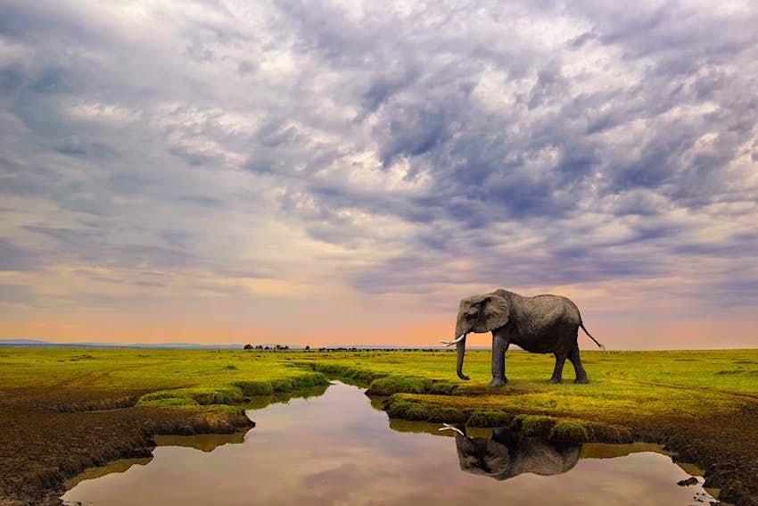 A female Elephant approaches a stream in the Maasai Mara National Reserve.