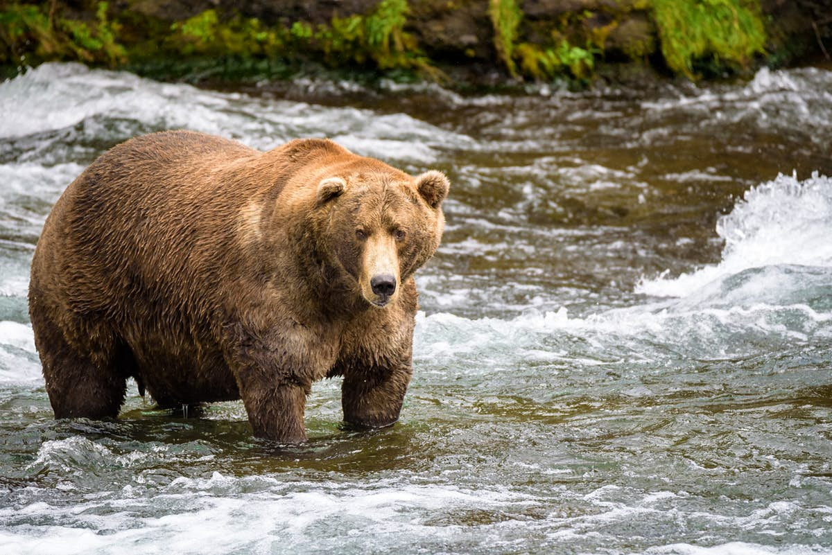 Get ready because Fat Bear Week is almost here again - Lonely Planet