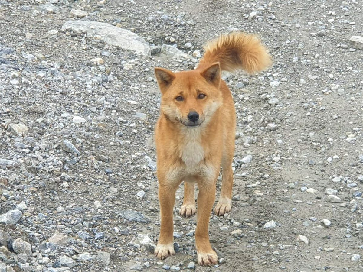The Rare New Guinea Singing Dog With An Eerie Howl May Not Be Extinct In The Wild Lonely Planet
