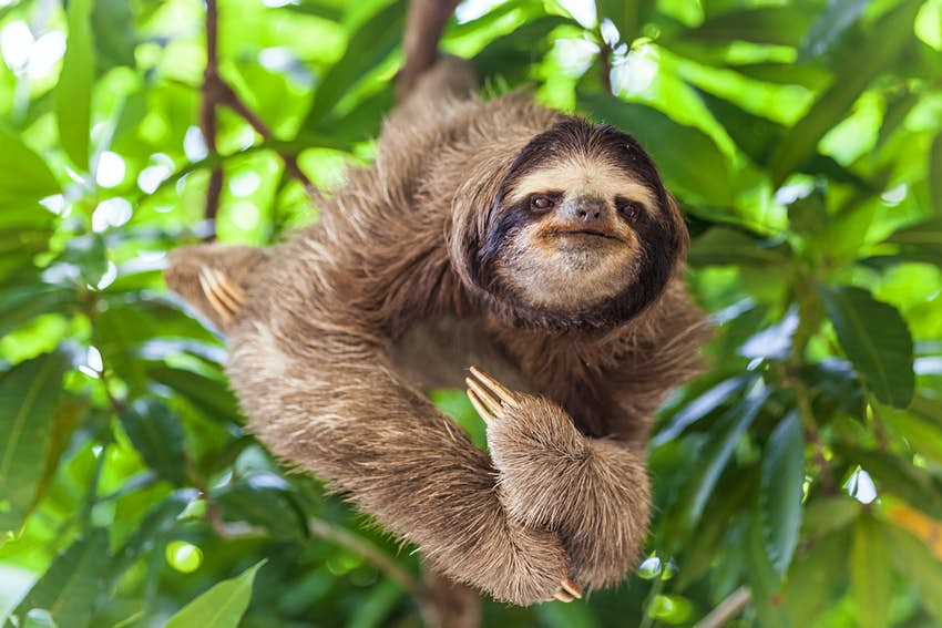 A sloth clings to the branch of a tree