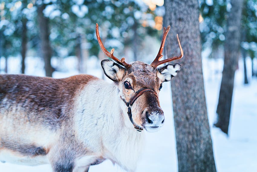 A reindeer pictured on a farm in winter in Lapland, Rovaniemi of Finland