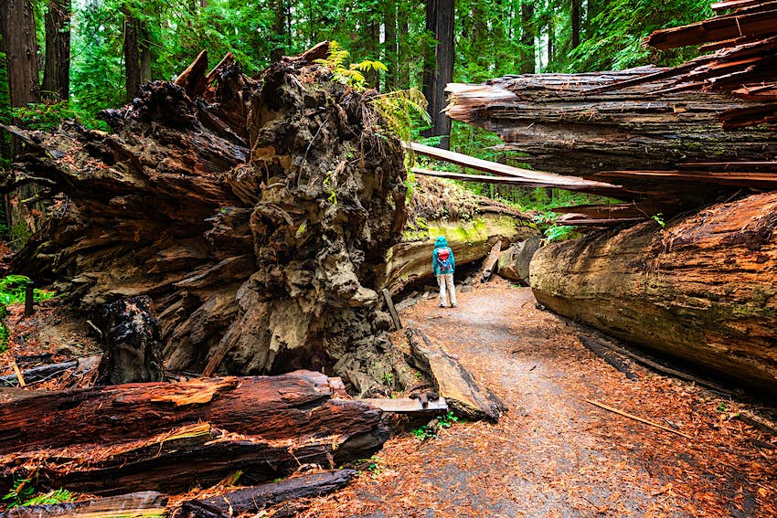 Woman standing beside the fallen Dyerville Giant at Humboldt Redwoods State Park in Northern California, USA.