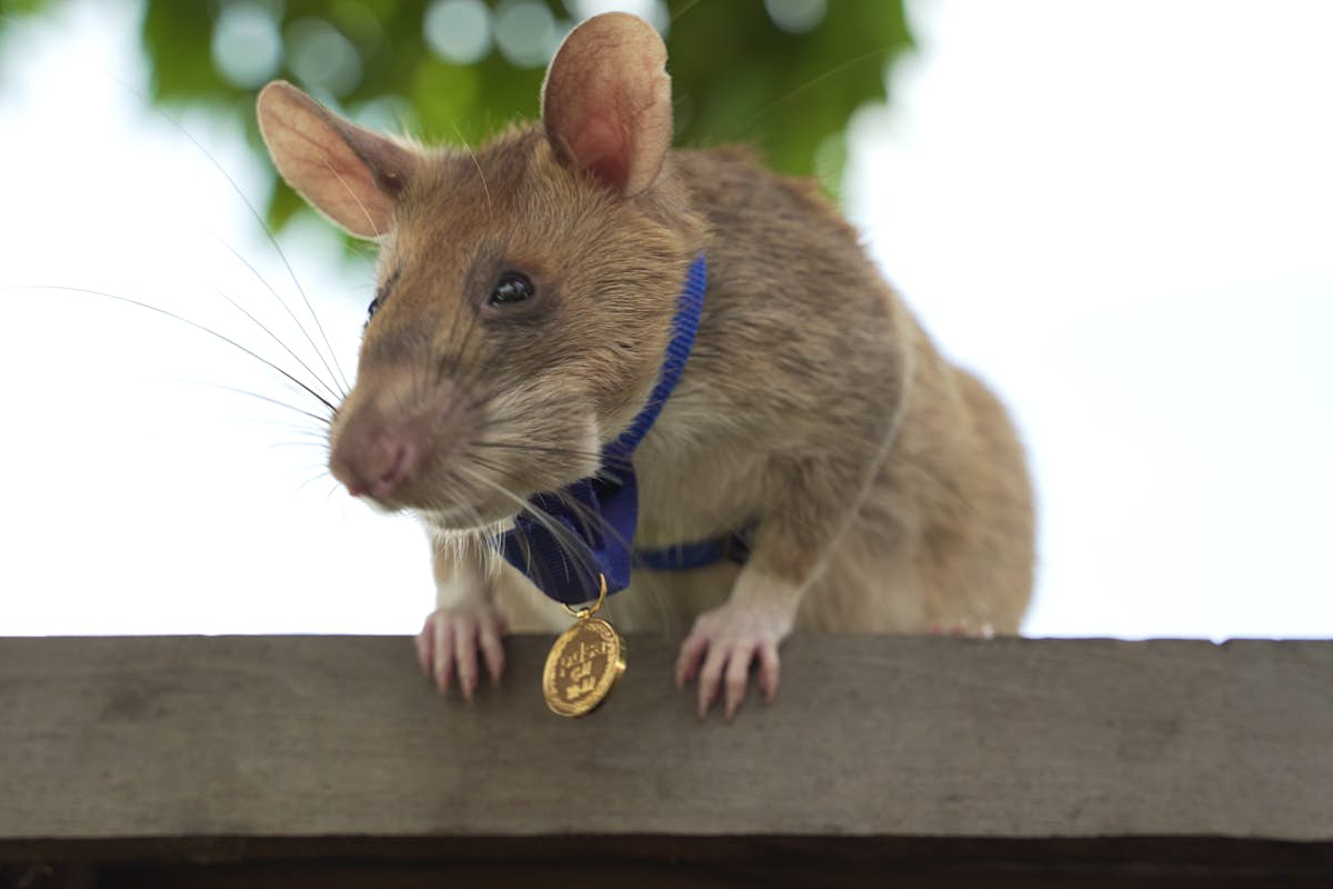 This landmine-clearing rat has won an award for his bravery and work in Cambodia