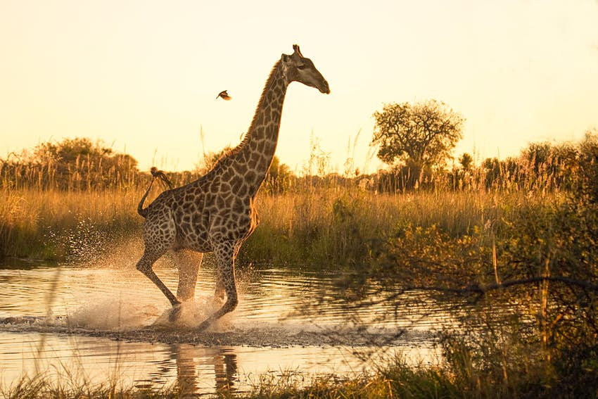 A Giraffe (Giraffa camelopardalis) running across a flooded area in the Moremi Game Reserve, with a small oxpecker flying nearby..