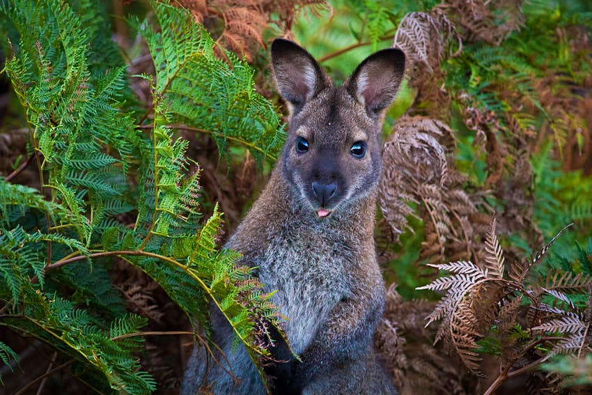 Bennett's Wallaby hiding among bracken ferns in Tasmania. .
