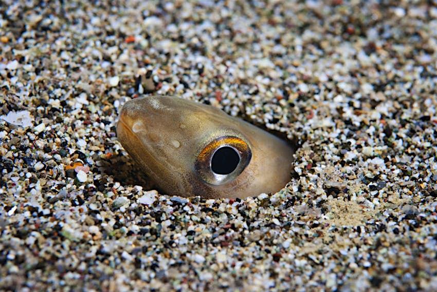 Conger of Baleari peeking from pebbles in Mediterranean sea