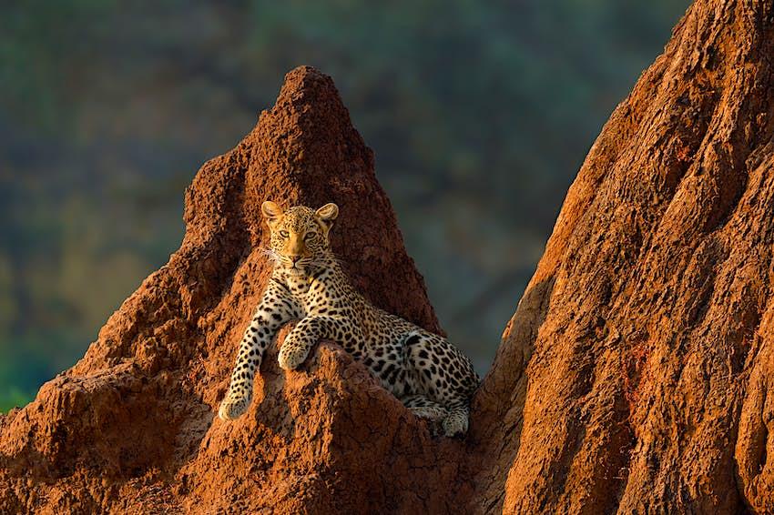 Marsel van Oosten. Female leopard on termite mound at sunrise in Lower Zambezi National Park, Zambia