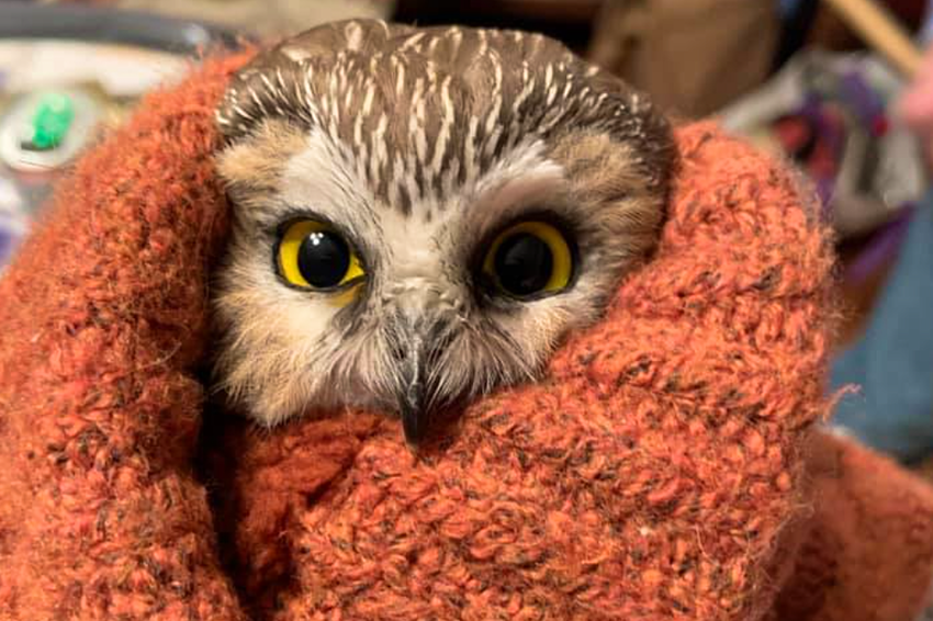 This tiny owl has been rescued after it was found in the Rockefeller Christmas tree - Lonely Planet