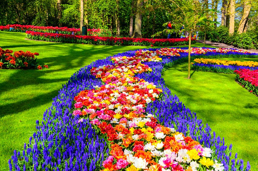 A row of tulips in bloom with blues, reds and yellows, planted in a pattern